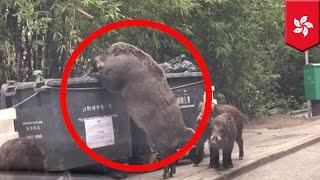巨大イノシシが香港の町中に出現!仲間イノシシを引き連れ大型ごみ箱を...