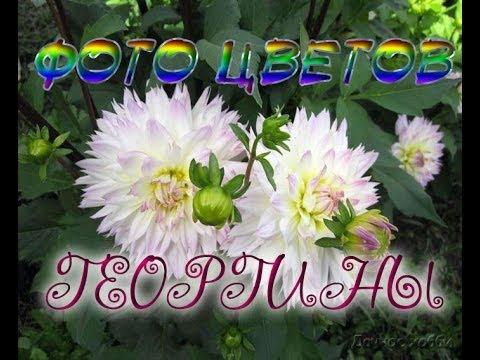 Фото цветов - ГЕОРГИНЫ. Красота вашего сада и дачи.