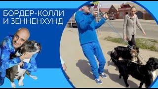 Важность Понимания, контроль,  поводок и уличные собаки(Бордер-колли и Зенненхунд)