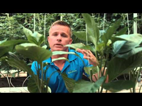 Growing Bell Peppers - NatureFresh Farms