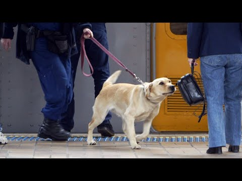 Dogs in training to detect COVID-19 in Chile