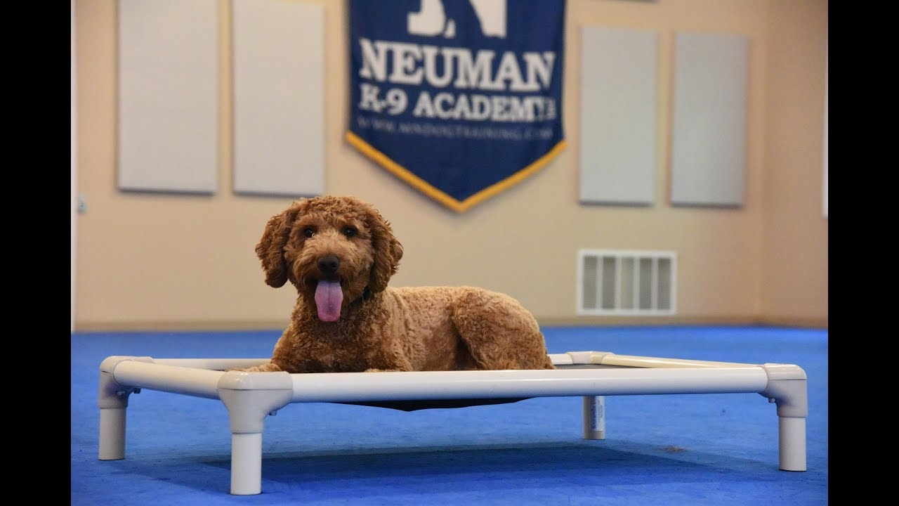 Brody Mini Goldendoodle Boot Camp Dog Training Video