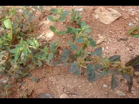Euphorbia medicinal plant