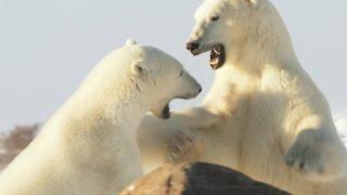 A Polar Bear Battle for Love