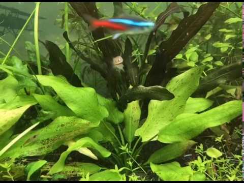 Эхинодорус крапчатый (ehinodorus aspersus)