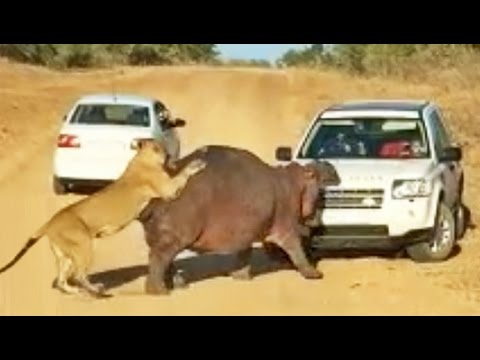 Thumbnail: Hippo Bites Land Rover As Lions Attack