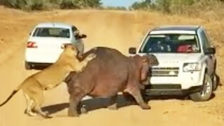 Repeat youtube video Hippo Bites Land Rover As Lions Attack