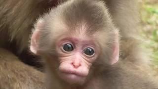 Mountain Monkey - Newborn Baby 01 山猿 - 赤ちゃん 01