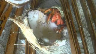 Hermit crab eating coconut