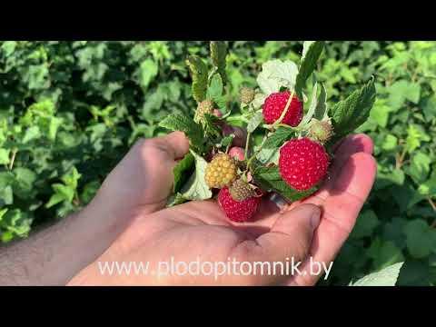 Самый ранний сорт малины МЕТЕОР  Без ягоды малины точно не останетесь.   саженцы   ранняя   метеор   малины   малина   летние   ягода   сорта   сад