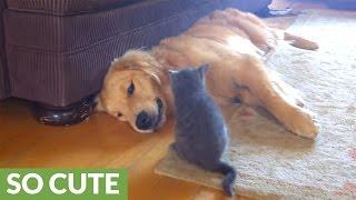Brave kitten pounces on Golden Retriever thumbnail