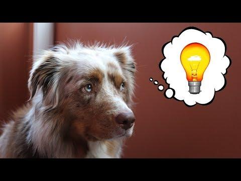 Dog Gets an Idea | Pekka the Australian Shepherd
