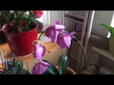 Dlaczego Opadaja Kwiaty Storczyka Orchdei Przyczyny Youtube
