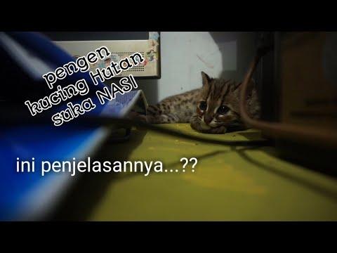 Cara Kucing Hutan Supaya Suka Nasi Youtube