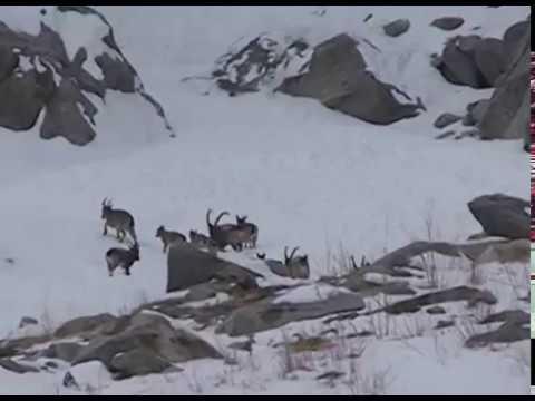 ibex hunting in gilgit baltistan