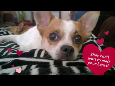 Jack Russell Terrier Chihuahua Mix Dogs For Adoption in San Jose CA