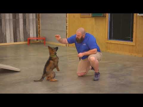 Striker Von Prufenpuden 11 Wks German Shepherd Dog For Sale W/Additional Training