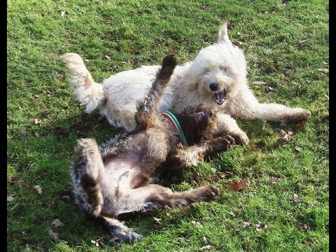 Golden Doodle & Wire Haired Pointer LUNATICS.
