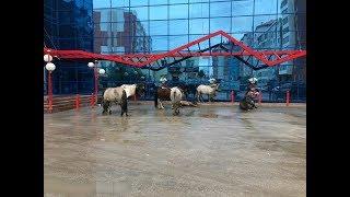 Якутские лошади нападают на горожан требуя алкоголь и еду!