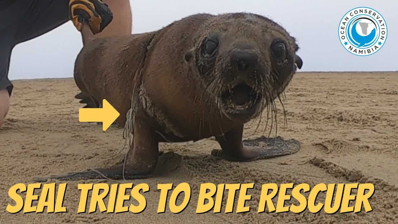 Seal Tries To Bite Rescuer