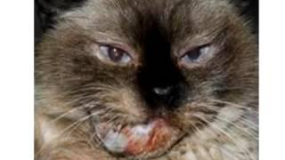 Feline Dental Health Part 4 - ACFA 2011 - Dr. Amy Hanson