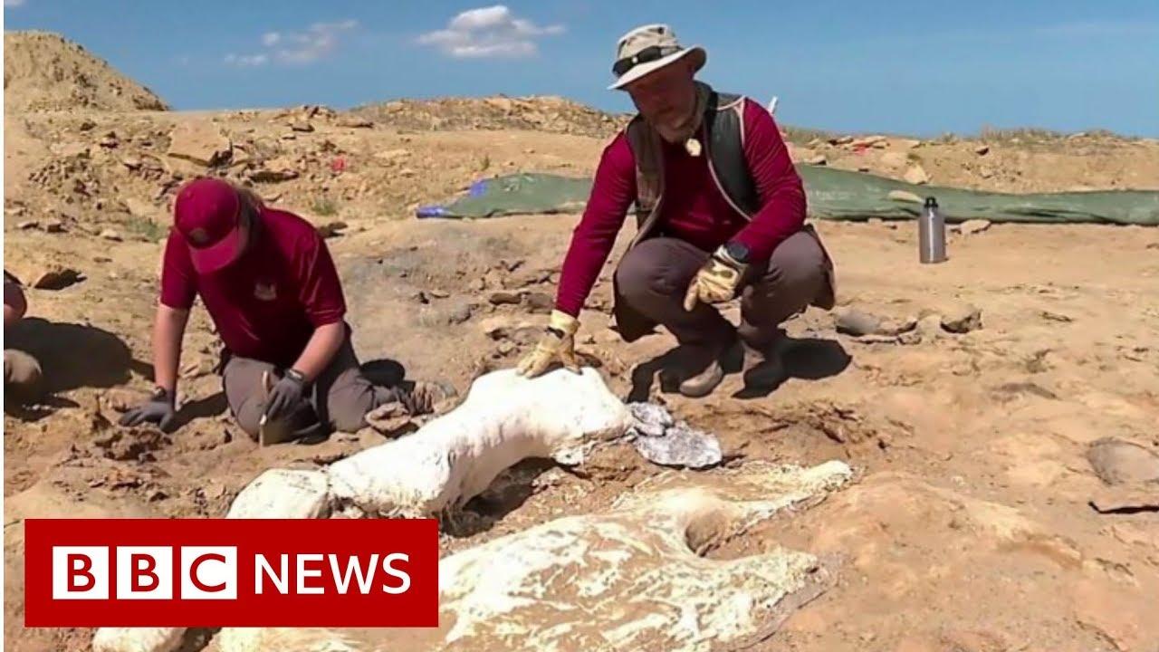 BBC News:Treasures of a dinosaur hunt - BBC News