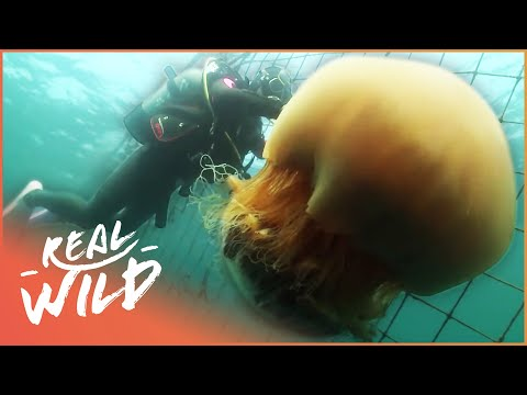 Giant Dangerous Jellyfish Attacking Japan | Monster Jellyfish | Real Wild