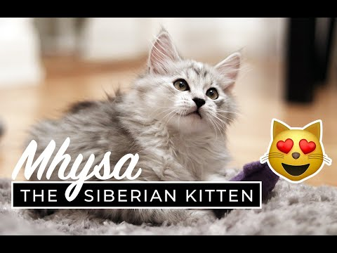 CUTE KITTEN || 12 weeks Beautiful Siberian Cat ||