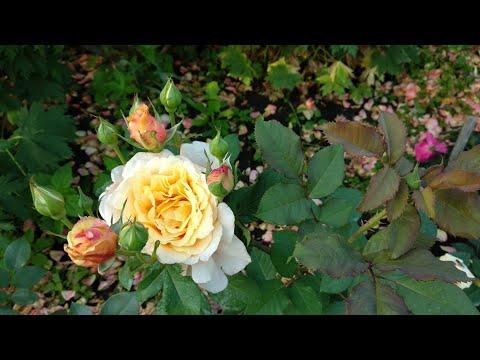 Розы. Цветение новинок.