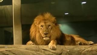 2016年12月22日撮影 ~円山動物園 アフリカゾーン「 カバ・ライオン館」...