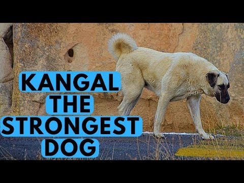 Kangal Shepherd - Dog Breed with Strongest Bite Force