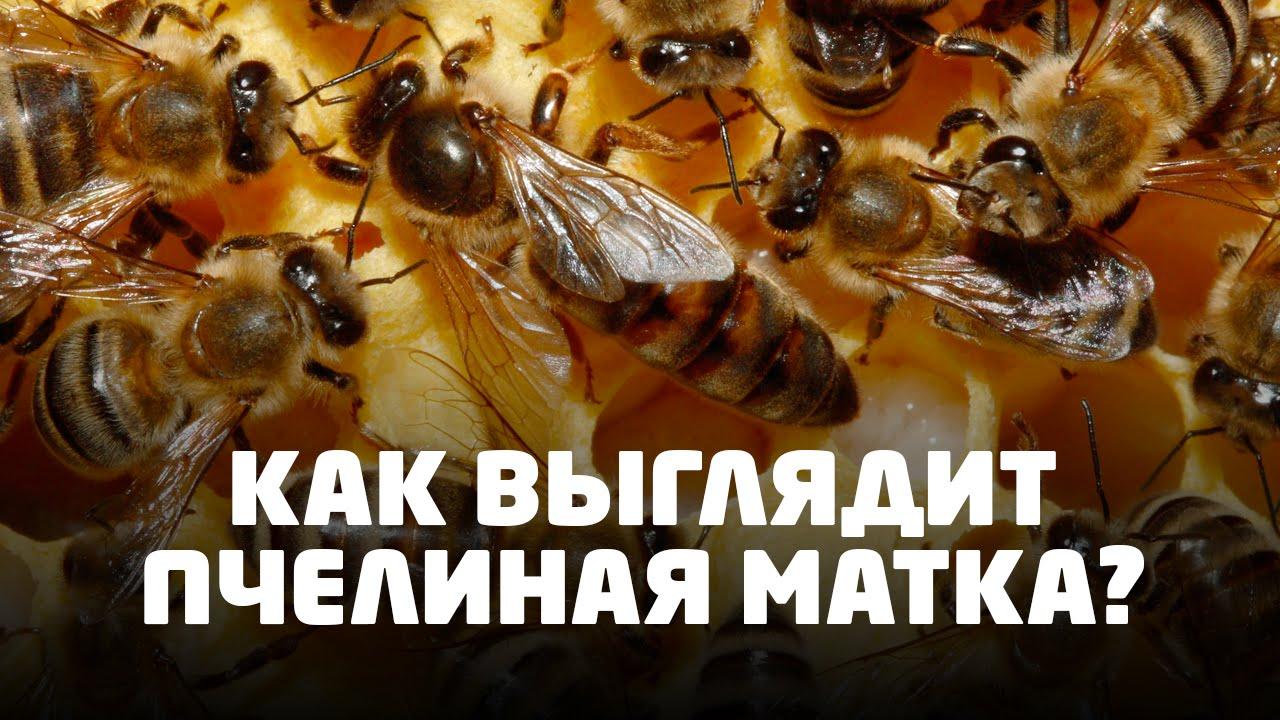 Британские аристократы — пчелы Бакфаст