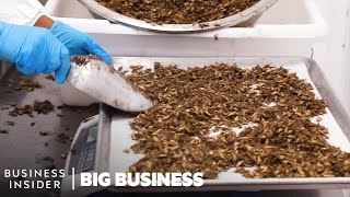 How 50 Million Crickets Are Harvested A Week To Become Food | Big Business