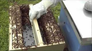 Installing a Swarm in an 8-Frame Langstroth Medium - 02 May 2011