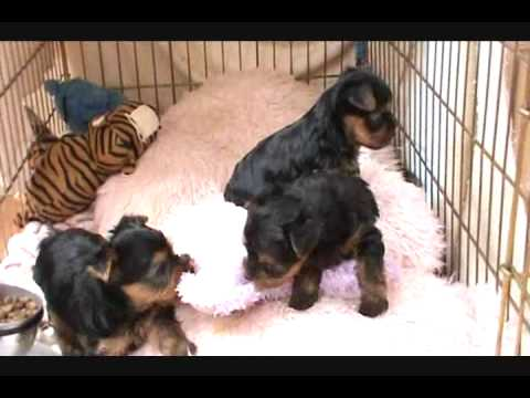 Tiny Yorkie Puppiesawe1 Month Oldthe Cutest Ever Youtube