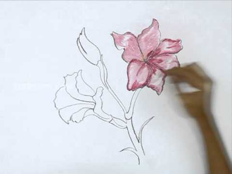 Gladiolus flowers drawing images for How to draw flo