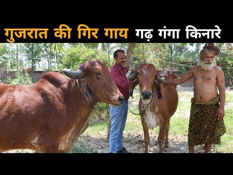 गुजरात की गिर गाय | Pure breed Gir cow from Gujarat | कहाँ मिलेगी गिर गाय | Gir Cow Information