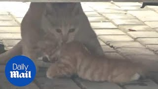 Heart-breaking moment cat refuses to leave her dead kitten behind