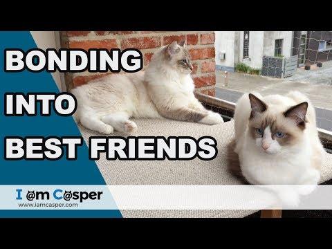 Ragdoll cats are BONDING strong into BEST friends - Casper & Binx