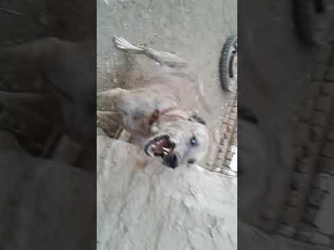 سوزان سگ افغان (کهنه گل.ورامین)