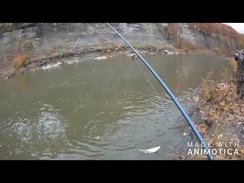 Steelhead Fishing Lake Erie Tributary