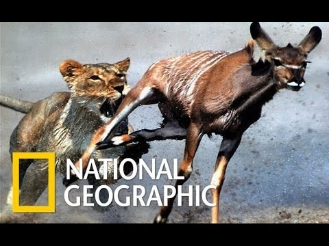 National Geographic Documentary  -   Lions   Ruthless   - Nat Geo wild