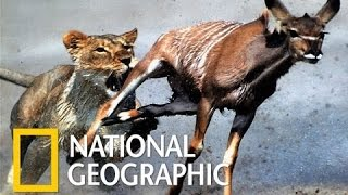 national geographic documentary lions ruthless nat geo wild