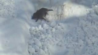 ブナオ山の凍結した雪崩跡でイノシシが足を滑らせ、谷の下に転げ落ちて...