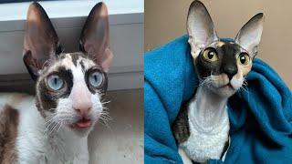 CORNISH REX CATS 2021