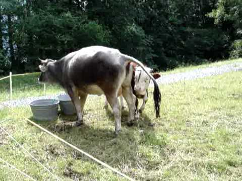 Cow peeing on a flat rock