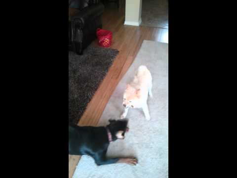 My retarded dogs fighting... In a nice way (Peta)