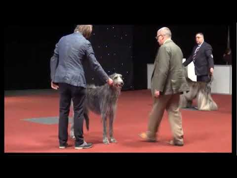 8.12.2018 Brussels dog show Group 10 Deerhound