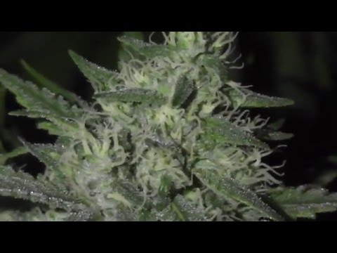 Cannabis production | Cheese - Ripening stage