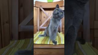 Бурманский котенок голубого окраса
